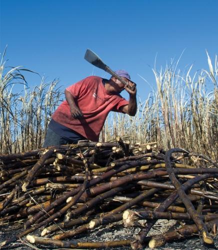 harvesting-sugar-cane2.jpg